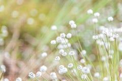 Цветок henryanum Eriocaulon Kradumngen Стоковое Изображение