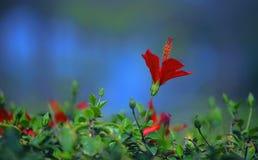 Цветок Hibescus Стоковое фото RF