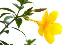 Цветок Hibiscus Стоковое Изображение