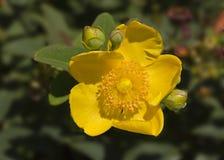 Цветок Hipericum Стоковые Фото