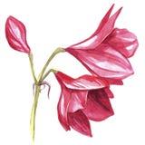 Цветок Hippeastrum акварели красный Стоковое фото RF
