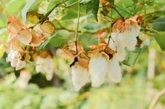 Цветок hirsutum Boll или хлопчатника хлопка стоковые изображения