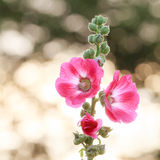 Цветок Hollyhock на предпосылке bokhe Стоковые Изображения RF