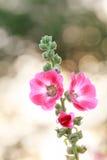 Цветок Hollyhock на предпосылке bokhe Стоковая Фотография
