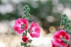 Цветок Hollyhock на предпосылке bokhe Стоковые Фотографии RF