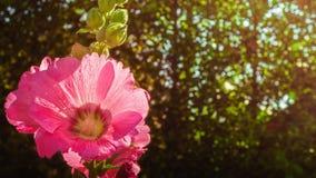 Цветок hollyhock пинка полного цветения красоты и bokeh нерезкости Стоковое Изображение