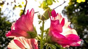 Цветок hollyhock полного цветения розовые и предпосылка bokeh нерезкости Стоковое Изображение RF
