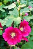 Цветок Hollyhock. Стоковое Фото
