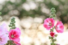 Цветок Hollyhock Стоковая Фотография RF
