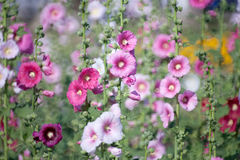 Цветок Hollyhock Стоковое Изображение RF