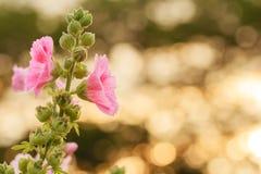 Цветок Hollyhock Стоковое фото RF