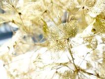 Цветок hortensia гортензии Стоковая Фотография RF
