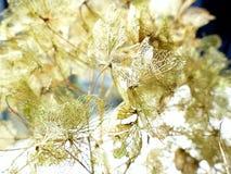 Цветок hortensia гортензии Стоковая Фотография