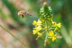 Цветок Hoverfly причаливая Стоковая Фотография RF