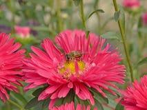 цветок hoverfly Стоковая Фотография RF