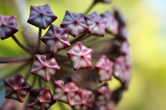 Цветок Hoya Imperialis Стоковое Фото
