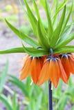 Цветок imperialis Fritillaria кроны Kaiser Стоковое Изображение