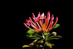 Цветок Ixora на черной предпосылке Стоковые Изображения
