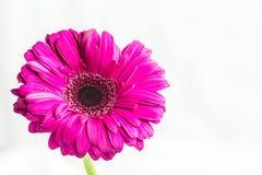 Цветок jamesonii Gerbera одиночный magenta Стоковые Фото