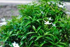 Цветок jasminoides Gardenia стоковые фотографии rf