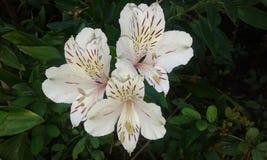 Цветок Jeranius Стоковое Изображение