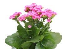 Цветок Kalanchoe Стоковое Фото