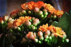 Цветок Kalanchoe Стоковое Изображение