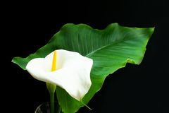 Цветок Kalla Белые фекалии цветут на черной предпосылке Большой белый цветок на черноте стоковая фотография rf