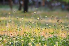 Цветок Kambarmodi Стоковое Фото