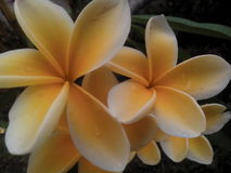 Цветок Kamboja Frangipani Стоковое фото RF