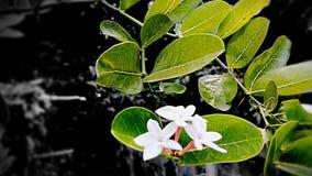 Цветок Karanda Стоковое Изображение RF