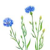Цветок Knapweed изолированный на белой предпосылке Стоковые Изображения RF