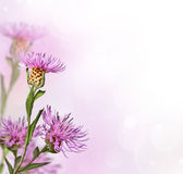 Цветок knapweed лужка на мягкой предпосылке Стоковые Фото