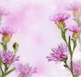 Цветок knapweed лужка на мягкой предпосылке Стоковые Изображения