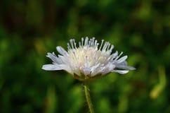 Цветок Knautia Стоковые Изображения