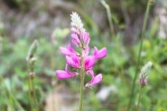 Цветок Korunka Стоковые Изображения