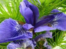 Цветок Kosatec стоковая фотография