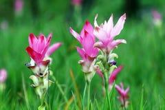 Цветок Krachiao в Таиланде Стоковое Изображение
