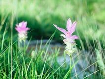 Цветок KRAJIAO, 3 месяца года, мы можем увидеть ее Стоковое Изображение RF
