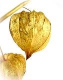 Цветок Lampion Стоковые Фото