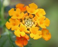 Цветок Lantana в цветени Стоковое Фото
