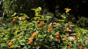 Цветок Lantana оранжевый в заводе Стоковая Фотография