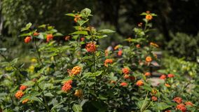 Цветок Lantana оранжевый в заводе Стоковые Фото