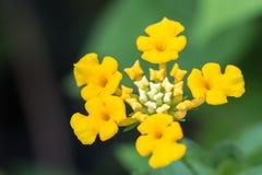 Цветок Lantana Стоковая Фотография RF