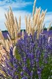 Цветок Lavеnder Стоковые Изображения RF