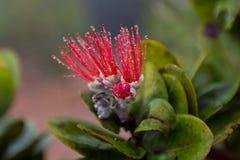 Цветок Lehua Стоковое фото RF
