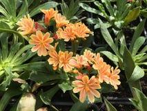 Цветок Lewisia стоковое изображение rf