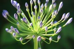 Цветок Lila в саде Стоковое Изображение