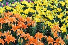цветок lilly Стоковые Изображения RF