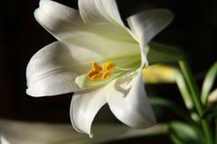 цветок lilly Стоковое Изображение RF